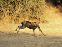 The early guide gets the dogs. Recent safari guests encounter a high-speed hunt while on foot in South Luangwa.
