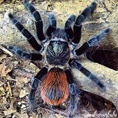 Brachypelma vagans (by Pet Tarantula, Jumping Spider, Beautiful Bugs, Mundo Animal, Bugs And Insects, Animals Of The World, Spirit Animal, Animal Kingdom, Creepy
