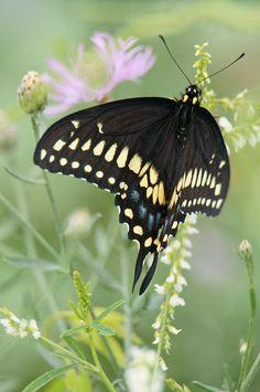 """A Moment of Grace"" by Leda Robertson Swallowtail"
