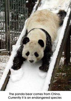 Panda bear is an endangered species