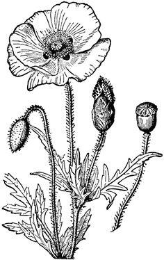 Poppy Flower Drawing   Poppy   ClipArt ETC