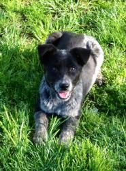 Baby Wyatt is an adoptable Australian Cattle Dog (Blue Heeler) Dog in Jeffersonville, IN. Baby Wyatt is a 4 month old male Blue Heeler mix. He was rescued from a high kill shelter and is now in a fos...