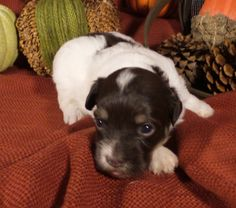 Lani A Reecey/Felix puppy Fall 2015 2 Cute Havanese
