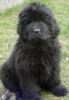 Google Image Result for http://cdn-www.dailypuppy.com/media/dogs/anonymous/oliver_newfie16.jpg_w450.jpg