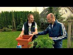 Pěstování rajčat a paprik v nádobách prevence proti černání plodů rajčat a hnilobě špiček paprik - YouTube
