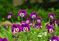 Lachende viooltjes