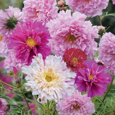 double cosmos flowers | Cosmos bipinnatus 'Double Click' (Seeds) - Half Hardy Annual Seeds ...