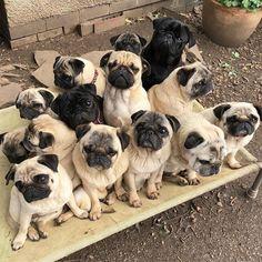 Pug Love is never enoug #pug Love is never enough