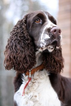 English Springer Spaniel photos and wallpapers. The beautiful English Springer Spaniel pictures Springer Spaniel Puppies, English Cocker Spaniel, Spaniel Dog, Spaniel Breeds, Dog Breeds, Chien Springer, Field Spaniel, Dog Grooming Business, Lab Puppies