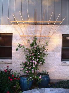 I want to move my roses away from house into planters with trellis