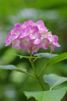 Hydrangea Colors, Hydrangea Flower, My Flower, Flower Art, Flower Power, Hydrangeas, Fresh Flowers, Spring Flowers, Beautiful Flowers