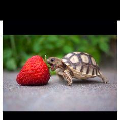Strawberry bigger than cute baby turtle