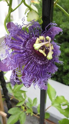 I am a Spirited Woman deeply connected to the Spirit of our Earth. Passionflowers are the most glorious example of stunning complexity and joy. Here's to celebrating life and living by soaking up the wondrousness of passionflowers!