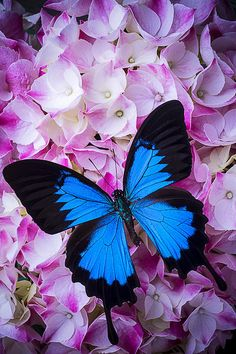 Blue Butterfly Discover Hydrangea With Blue Butterfly Canvas Print / Canvas Art by Garry Gay Blue Butterfly Wallpaper, Butterfly Canvas, Butterfly Quotes, Butterfly Pictures, Butterfly Flowers, Beautiful Butterflies, Blue Butterfly Tattoo, Art Papillon, Ceramic Mask