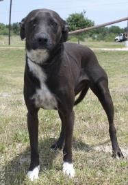 #TEXAS ~ Shooter Animal ID  19934960     Species  Dog     Breed  Australian Cattle Dog/Mix     Age  1 year 19 days     Sex  Male     Size  Large     Color  Black/White     Spayed/Neutered       Declawed  No     Housetrained  Unknown     Site  Texas Humane Heroes     Location  Canine Corral - #Leander     Intake Date  5/20/2013     Stage  Available