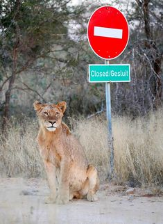 Lioness at no-entry sign in the Kruger National Park Kruger National Park, National Parks, Cool Pictures, Cool Photos, Cat Activity, Male Lion, Most Beautiful Animals, Rare Animals, Wild Dogs