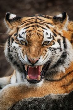 Tiger - I love this smile by Emmanuel Panagiotakis on 500px