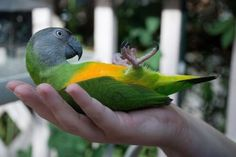 Cute Senegal parrot being snuggly . Senegals are soooooooo sweet and this is a typical behavior . never met a Senegal I didn't love . from Senegal Africa Parrot Pet, Parrot Bird, Parrot Facts, Best Pet Birds, Senegal Parrot, Funny Parrots, African Grey Parrot, Senegal Africa, Exotic Birds