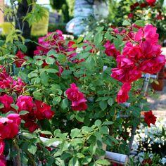 #Piante #Rosa Rampicante a Spalliera - Spedizione Gratuita da €50 via @europlantsvivai