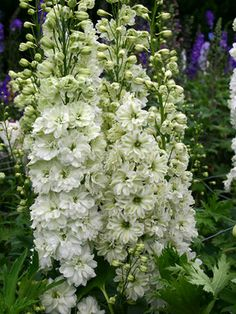 Delphinium elatum 'Green Twist' | From @Bluestone Fine Art Gallery Perennials