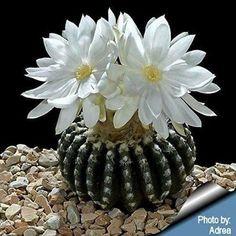 Kıymetli kaktüs çiçekleri...