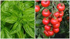 Zdravá zahrada | Prima nápady Stuffed Peppers, Vegetables, Gardening, Chemistry, Stuffed Pepper, Lawn And Garden, Vegetable Recipes, Stuffed Sweet Peppers, Veggies