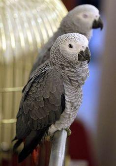 Pretty parrots African grey parrots sit on a perch during a pet bird show in Amman, Jordan, on Nov. 28.