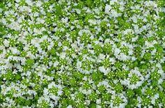 Thymus Albiflorus White Creeping Thyme