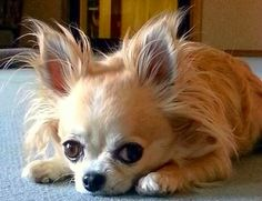 Long-haired Chihuahua.