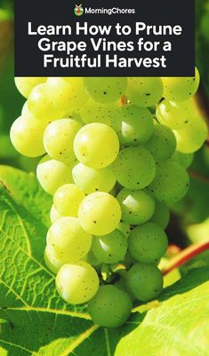 Grape vines need to be pruned to produce fruits. Learning how to prune grape vines is an essential skill for any grape grower. it's easy! Grape Vine Pruning, Grape Vine Plant, Grape Vine Trellis, Tree Pruning, Growing Fruit Trees, Growing Grapes, Growing Tree, How To Grow Grapes, Fruit Garden