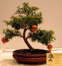 Bonsai, Dwarf Pomegranate,