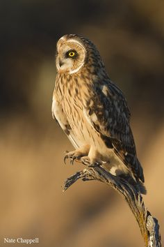 Short-eared Owl - Snake River Birds of Prey Area, Idaho by Nate  Chappell, via 500px
