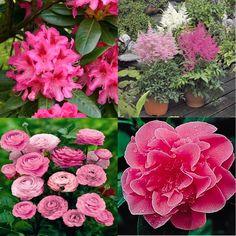 Rosa Schattengarten - für 18 EUR - 1x) Rhododendron 'Anah Kruschke' ist eine blühende Sorte mit tiefroten- lila Blüten. Blüht 5 - 6  (20x) Ranunculus, gefüllte Blüten mit dicht gruppierten Blütenblättern. Jeder Stamm hat eine bis mehrere Blüten. Sonne oder Halbschatten, Schnittblumen.  (1x) Camellia japonica   (3x) Prachtspieren