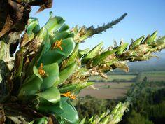 Fernando Ruz: Plantas nativas de Chile: Puya berteroniana