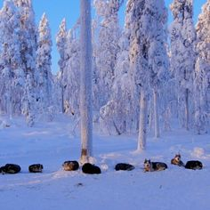 Dogsledding in Lapland: one of the many activities to enjoy during winter in Finland. Follow us on #Instagram: http://instagram.com/viatortravel