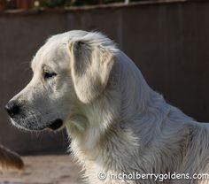 Sweet, sweet Tessa... www.nicholberrygoldens.com English Golden Retrievers, Sweet Sweet, Labrador Retriever, Pets, Animals, Beautiful, Labrador Retrievers, Animals And Pets, Animales