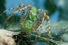 Female Green Lynx Spider (Peucetia   viridans) by BSC Photography,