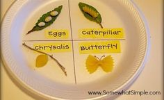 Life cycle activity or library activity for The Very Hungry Caterpillar using different pastas!