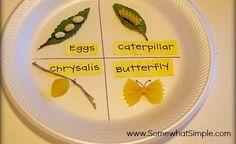 Evolução da borboleta