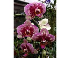 Phalaenopsis PH 044 Elegant Dream Diamand