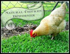 Earlier this summer we lost a laying hen to gape worm. By the time we figured out what was wrong with her based on the symptoms, it was. Best Egg Laying Chickens, Laying Hens, Raising Backyard Chickens, Keeping Chickens, Growing Chicken Feed, Leghorn Chickens, Small Chicken, Fresh Chicken, Chicken Ideas
