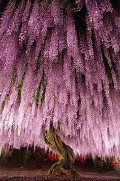Wisteria floribunda 'rosea' a. Japanese wisteria at Ashikaga Flower Park, Japan. Native to Japan. (Tree) [Photo by KotHat] Beautiful World, Beautiful Places, Beautiful Pictures, Beautiful Gorgeous, Wisteria Tree, Wisteria Japan, Purple Wisteria, Wisteria Tunnel, Wisteria Garden