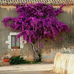 I miss our beautiful bougainvillea tree that we used to have in the garden. This reminds me of what I uses to look like.