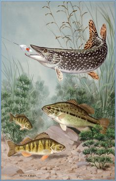 Photographic Print: Photographic Print: Northern Pike Bites Hook Black Bass and Yellow Perch Swim Nearby by Walter Weber : Pike Fishing, Trout Fishing, Fishing Boats, Fishing Lures, Fly Fishing, Fishing Tips, Saltwater Fishing, Fishing Reels, Fishing Cart