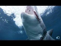 "Meet ""Slash"" the Shark | Shark Week 2013"