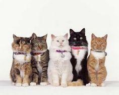 Gatos de compañia http://www.razasdeperrosygatos.com/gatos-de-compania
