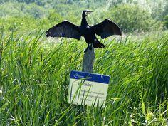 Gepind vanaf vroegevogels vara.nl. - Aalscholver