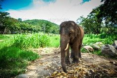 Young male elephant standing in the field - Stock Photo - Images
