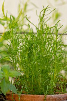 Mielenkiintoiset yrtit kokeilussa: kuvernöörinkukka ja oliiviyrtti OLIIVIYRTTI Herbs, Herb, Medicinal Plants