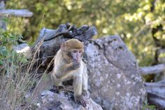 Barbary Macaque #FridayFund #Fundraising #Giving